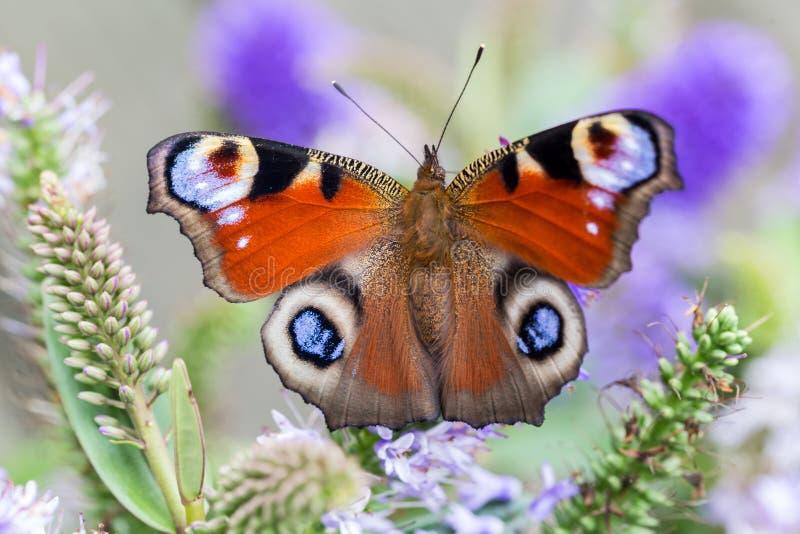 Mariposa de pavo real imagenes de archivo