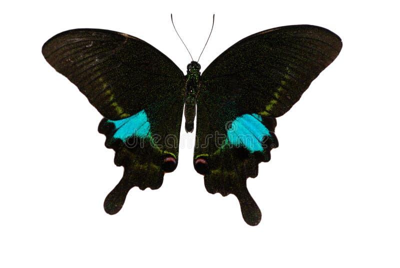 Mariposa de pavo real de París fotografía de archivo libre de regalías