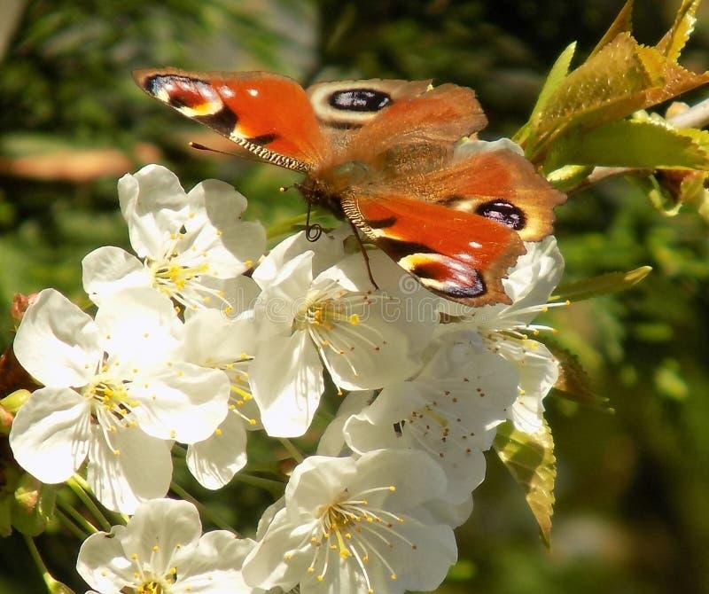 Mariposa de pavo real en el flor blanco imagenes de archivo