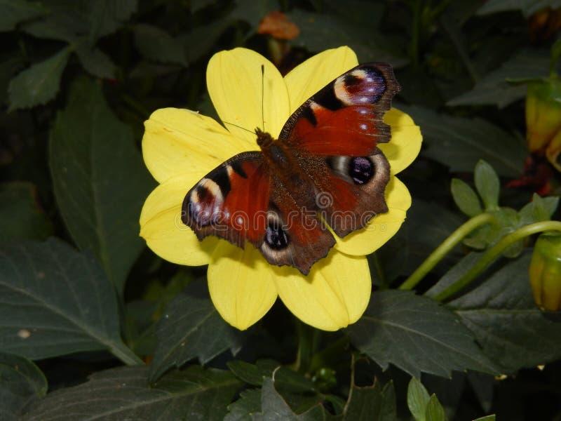 Mariposa de pavo real en una flor amarilla de la dalia foto de archivo
