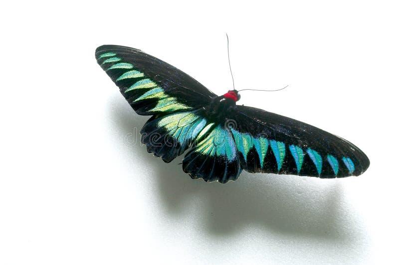 Mariposa de Rajah Brooke foto de archivo libre de regalías