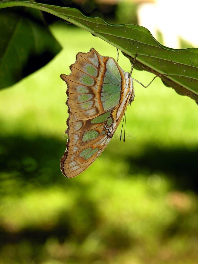 Mariposa de Rican de la costa - Siproeta Stelenes imagen de archivo