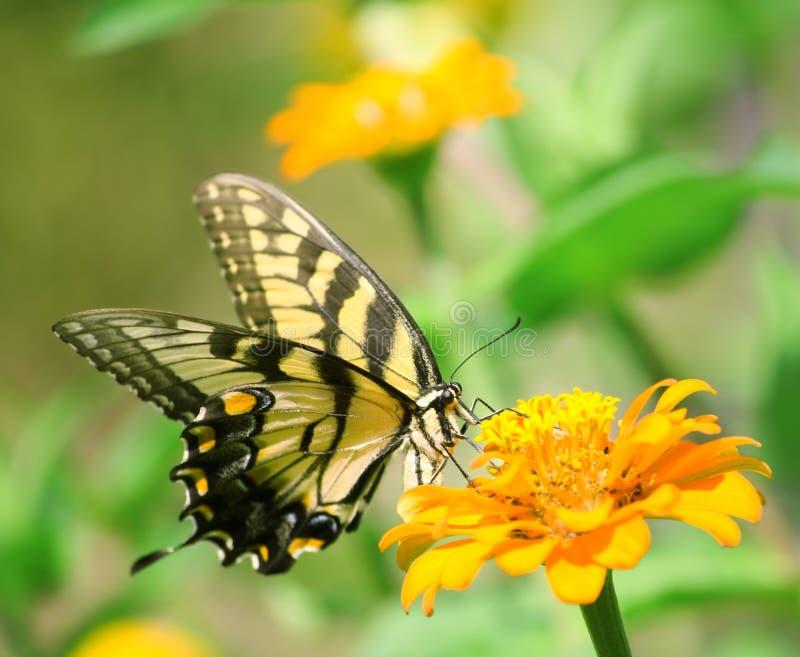 Mariposa de Swallowtail imágenes de archivo libres de regalías