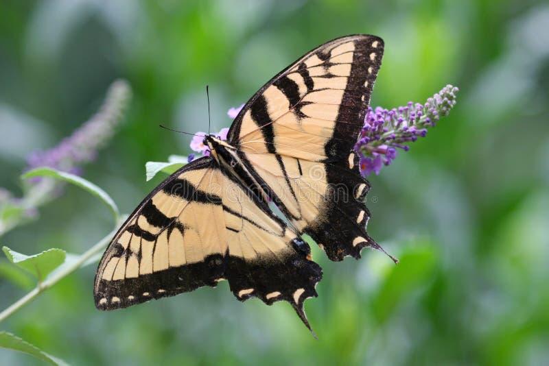 Mariposa de Swallowtail fotos de archivo