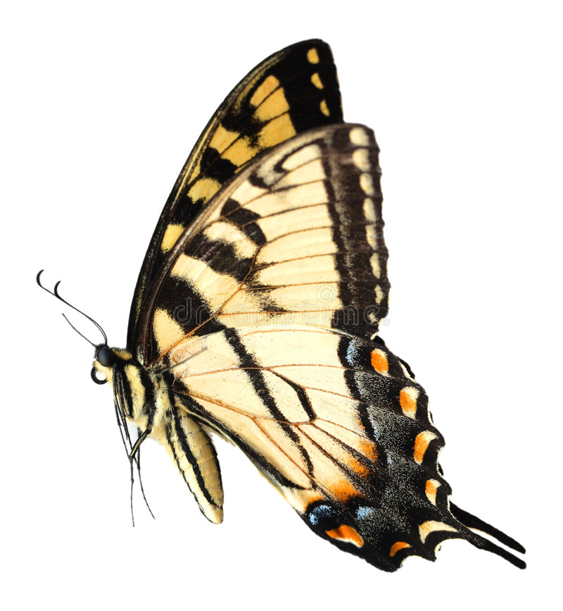 Mariposa de Swallowtail del tigre de Pascua fotos de archivo