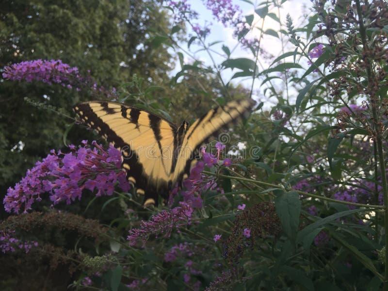 Mariposa de Swallowtail en arbusto de mariposa fotografía de archivo
