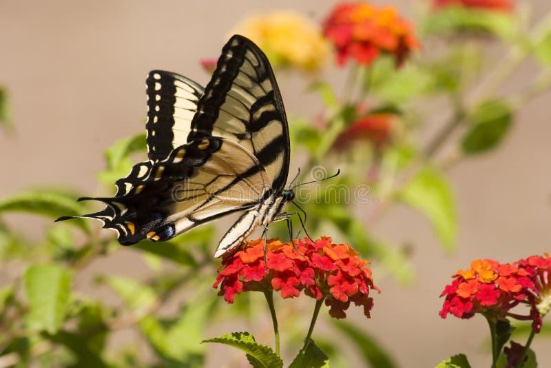 Mariposa de Swallowtail en Lantana anaranjado foto de archivo