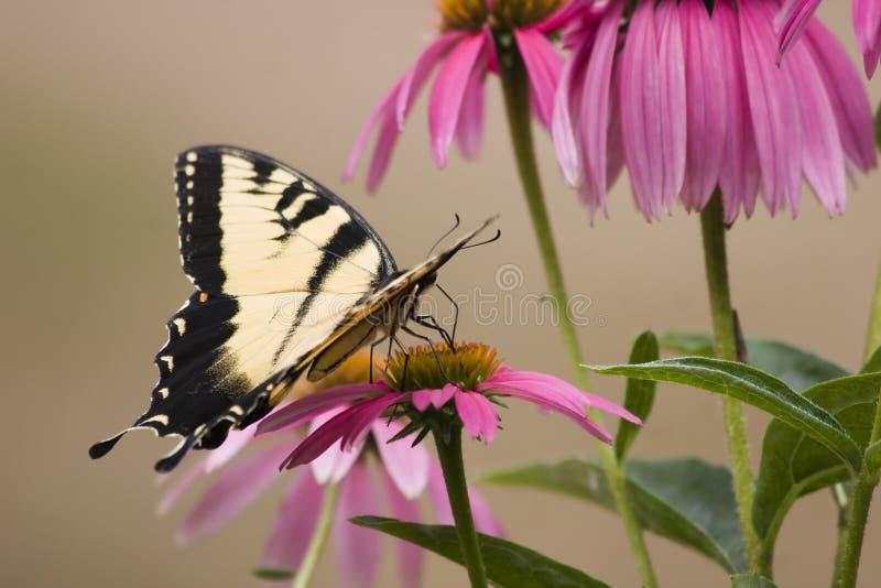 Mariposa de Swallowtail en las flores del cono fotos de archivo libres de regalías