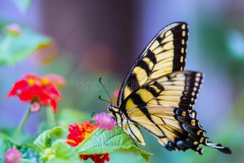 Mariposa de Swallowtail en las flores del lantana fotos de archivo