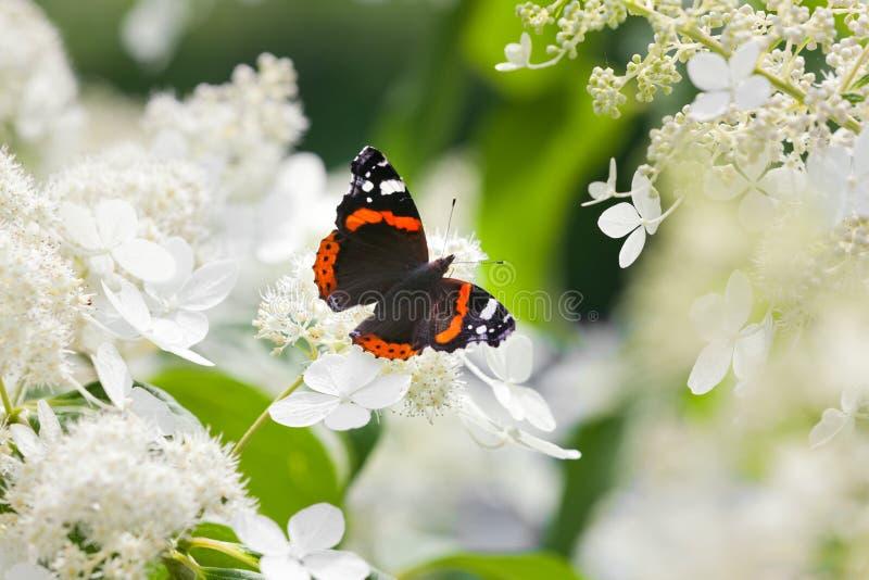 Mariposa del almirante en las flores blancas fotos de archivo libres de regalías