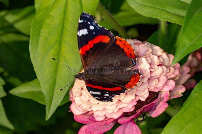 Mariposa del almirante en una flor imagenes de archivo