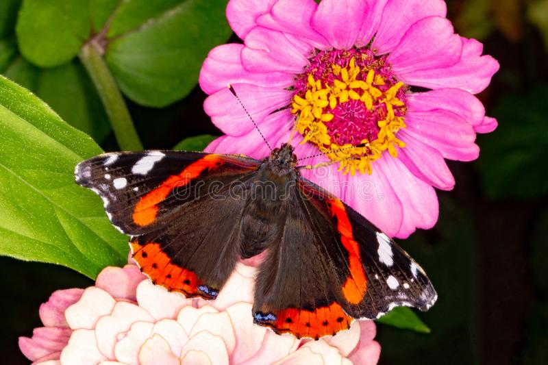 Mariposa del almirante en una flor fotos de archivo