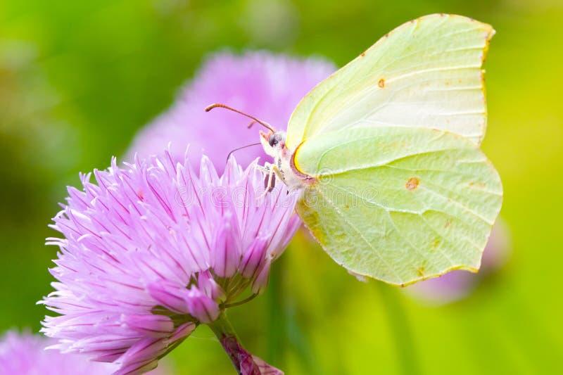 Mariposa del azufre imagen de archivo libre de regalías