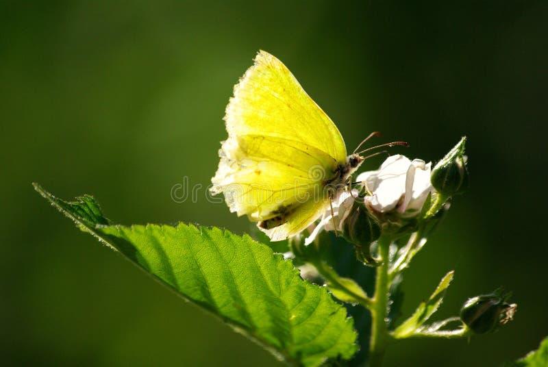 Mariposa del azufre   imagen de archivo