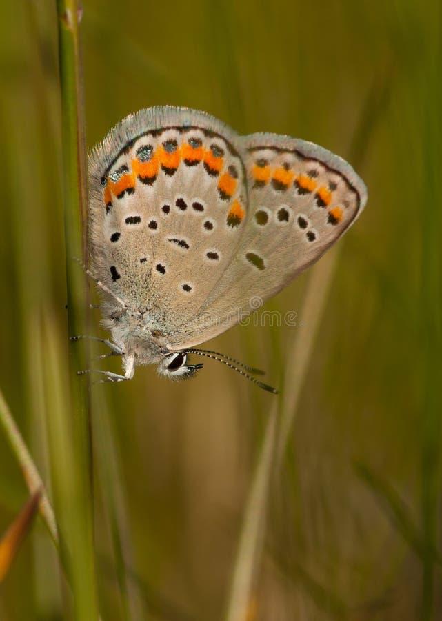 Mariposa del azul de Karner foto de archivo