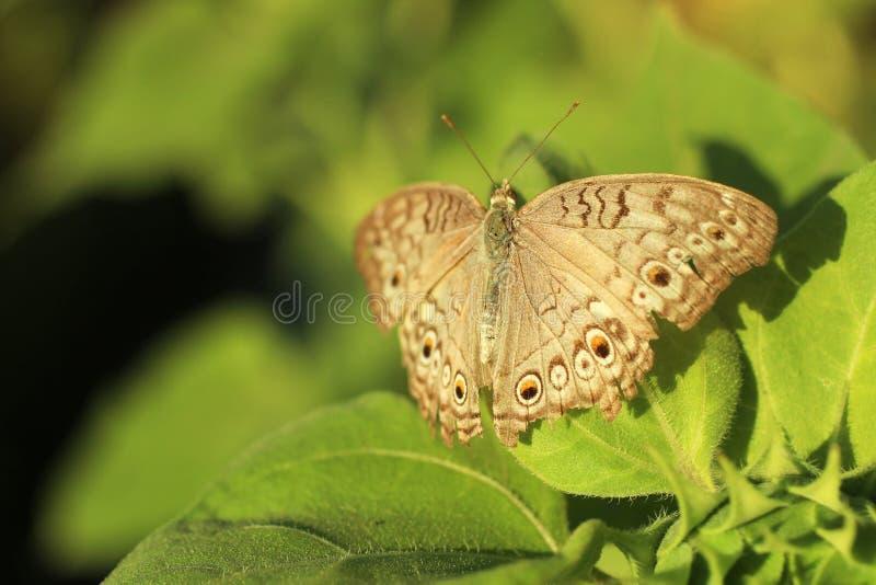Mariposa del batik del gris en la hoja del girasol Una mariposa y el girasol verde sale del fondo del modelo Mariposa del fondo d imagen de archivo