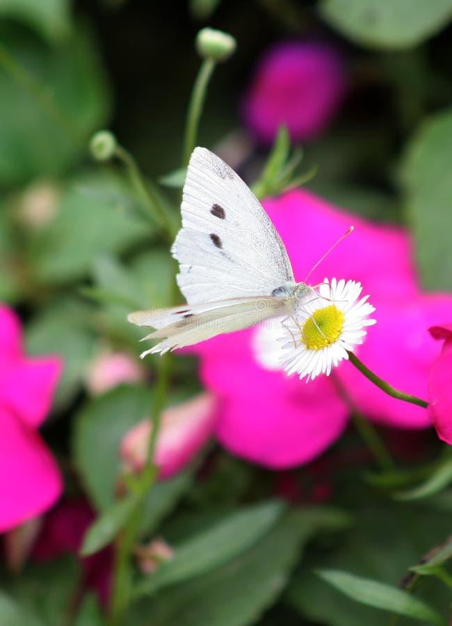 Mariposa del blanco foto de archivo libre de regalías