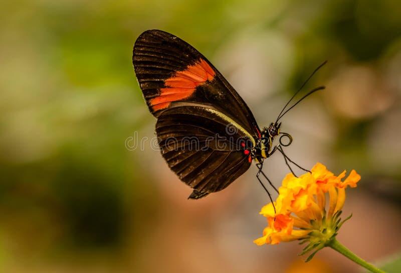 Download Mariposa del cartero foto de archivo. Imagen de fauna - 44858492