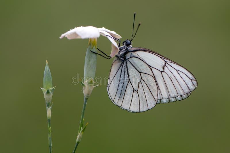 Mariposa del crataegi de Aporia en una flor salvaje blanca temprano por la mañana imagen de archivo libre de regalías