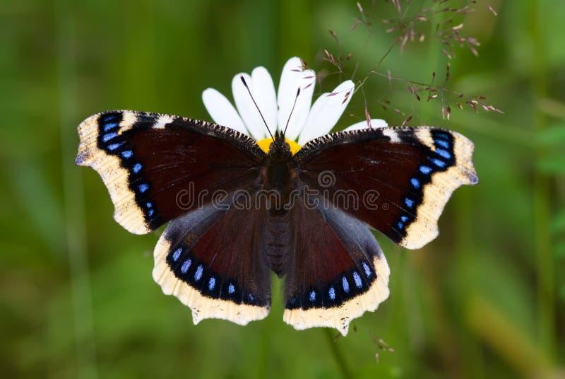 mariposa del Estar de luto-capote foto de archivo libre de regalías