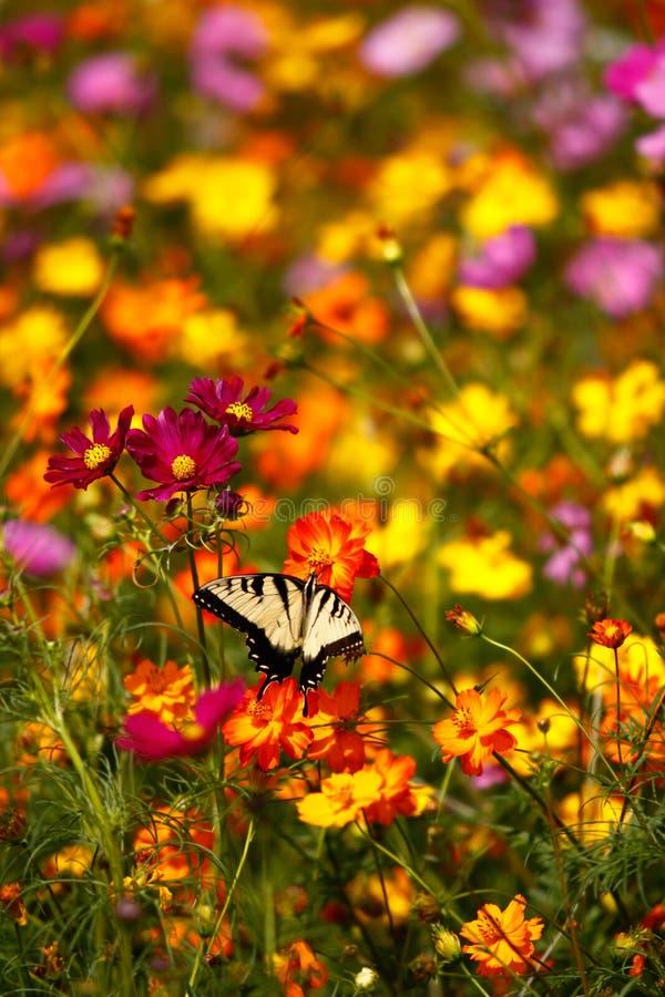 Mariposa del este de Swallowtail del tigre en Wildflowers foto de archivo