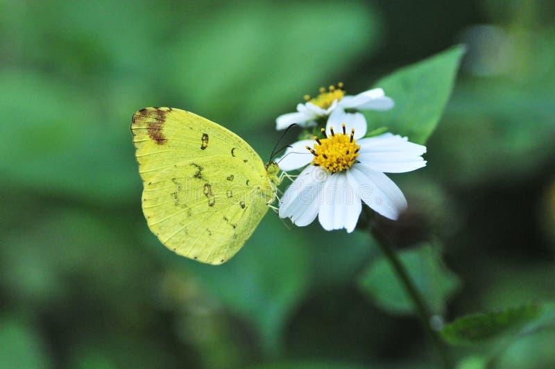 Mariposa del godana del andersoni de Eurema fotos de archivo