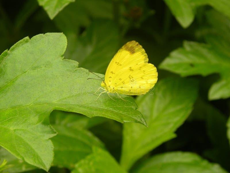Mariposa del hecabe de Eurema imagen de archivo libre de regalías