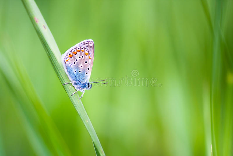 Mariposa del Lycaenidae en una flor foto de archivo libre de regalías