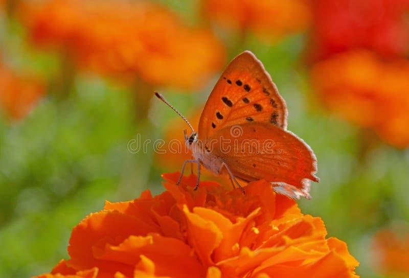 Mariposa del Lycaenidae que se sienta en la flor de la maravilla imagenes de archivo