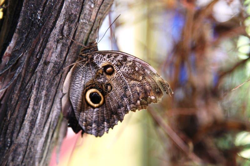 Mariposa del ojo del ` s del búho foto de archivo libre de regalías