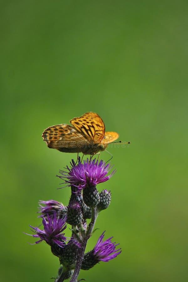 Mariposa del paphia del Argynnis en un flor del cardo imagen de archivo