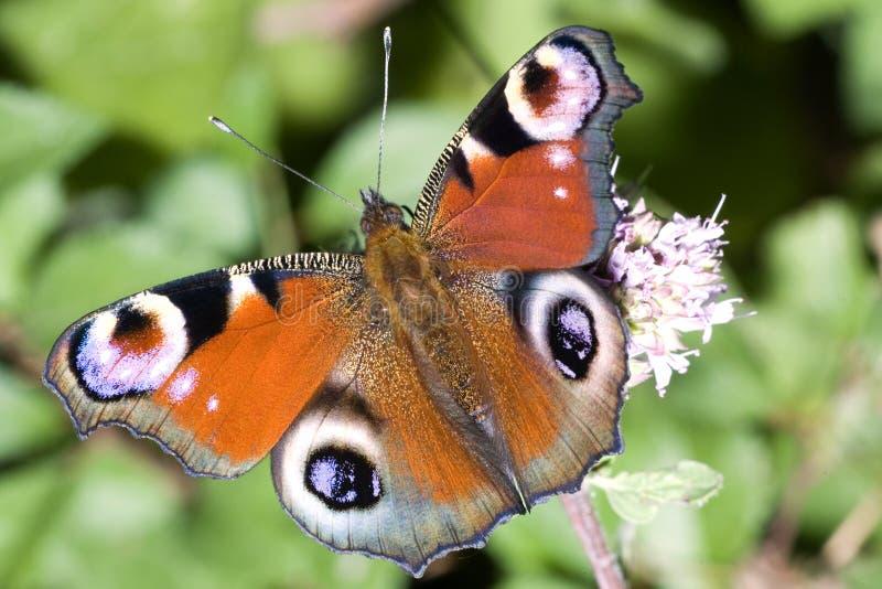 Mariposa del pavo real fotografía de archivo libre de regalías