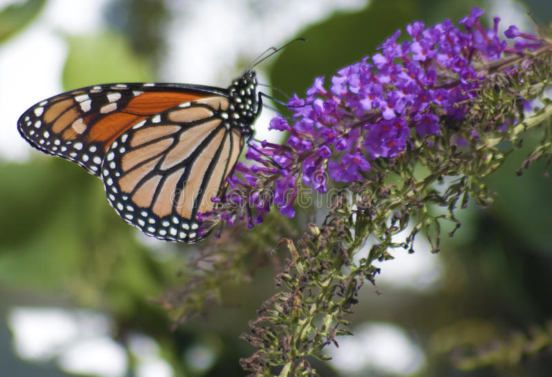 Mariposa del plexippus del Danaus del monarca imagenes de archivo