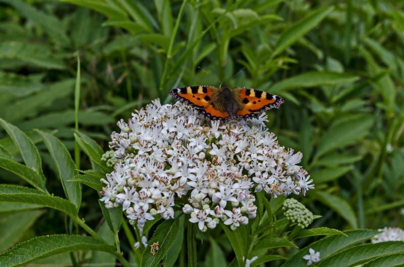 Mariposa del plexippus del monarca o del Danaus sobre el flor del ebulus de la baya del saúco o del Sambucus, arbusto venenoso fotografía de archivo
