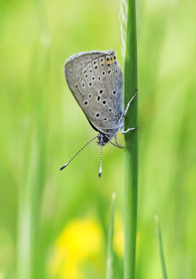 Mariposa del prado de la montaña foto de archivo