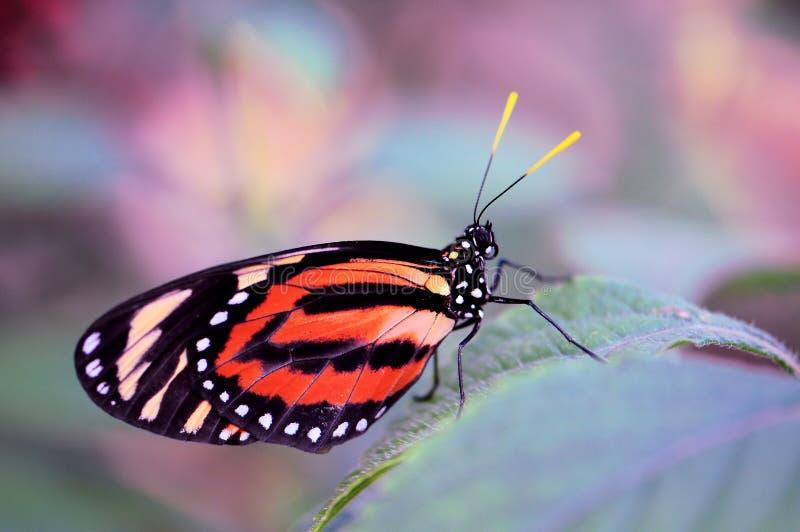 Mariposa del tigre de Ismenius (Heliconian) imagenes de archivo