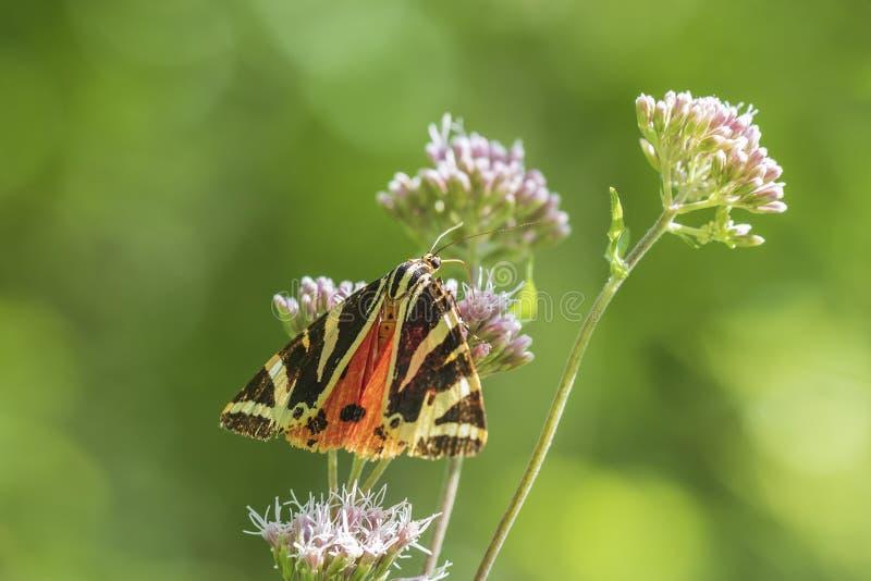 Mariposa del tigre del jersey, quadripunctari de Euplagia, primer foto de archivo