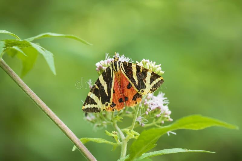 Mariposa del tigre del jersey, quadripunctari de Euplagia, primer imágenes de archivo libres de regalías