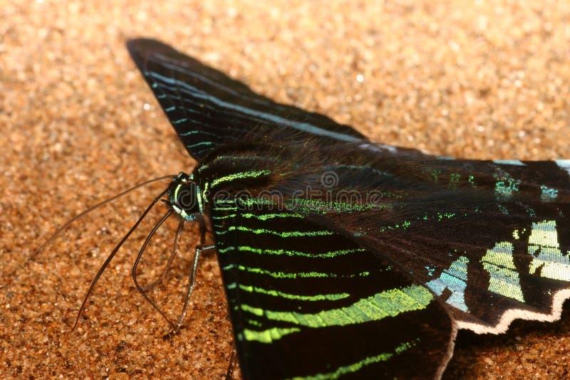 Mariposa del Urania fotos de archivo