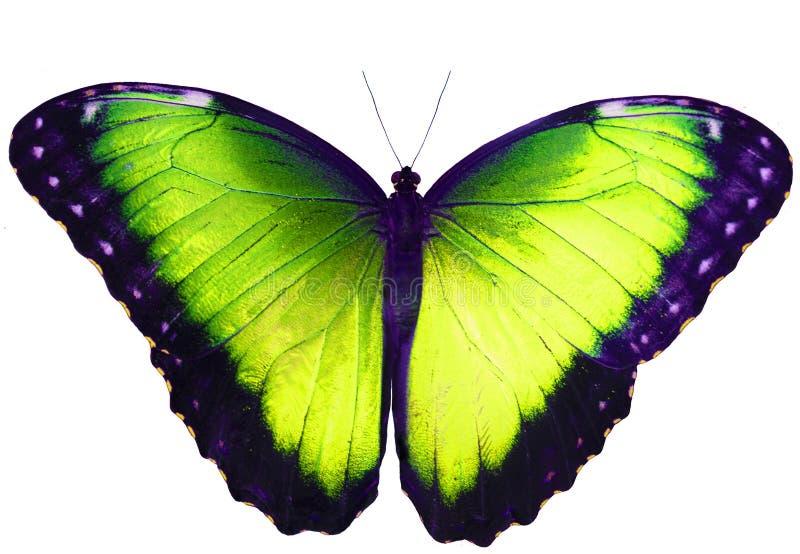 Mariposa del verde amarillo aislada en el fondo blanco con las alas separadas foto de archivo