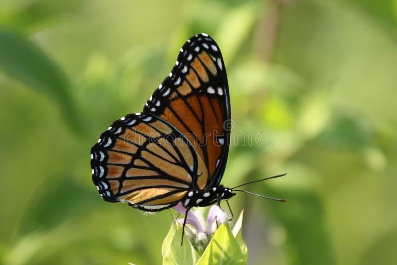 Mariposa del virrey fotografía de archivo