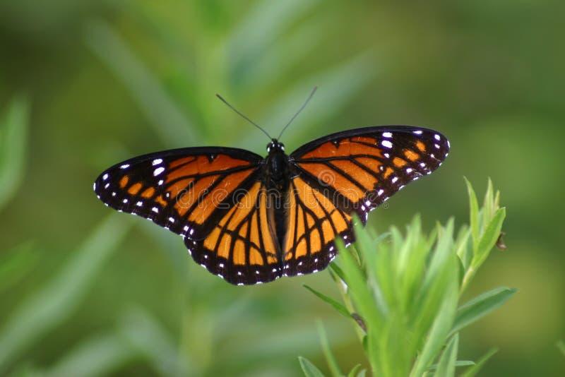 Mariposa del virrey imagen de archivo