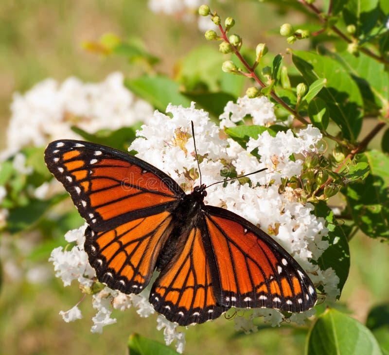 Mariposa del virrey que introduce en las flores blancas fotografía de archivo libre de regalías
