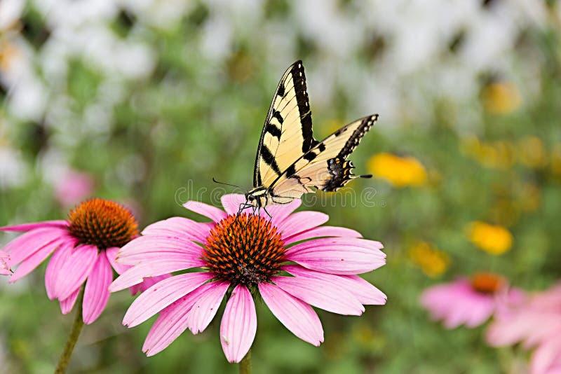 Mariposa en coneflower púrpura imagen de archivo