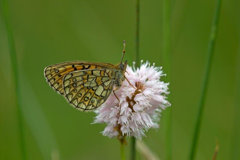 Download Mariposa En El área Eifel De La Naturaleza Foto de archivo - Imagen de fauna, plantas: 41901440