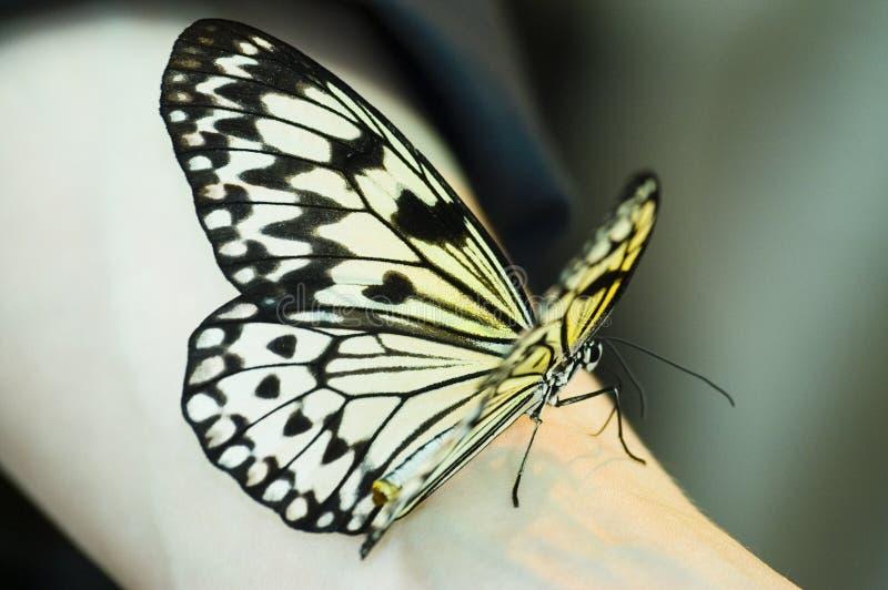 Mariposa en el brazo fotos de archivo libres de regalías