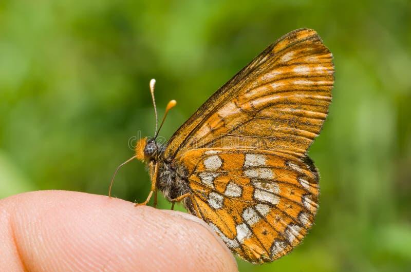 Mariposa en el dedo 2 fotografía de archivo