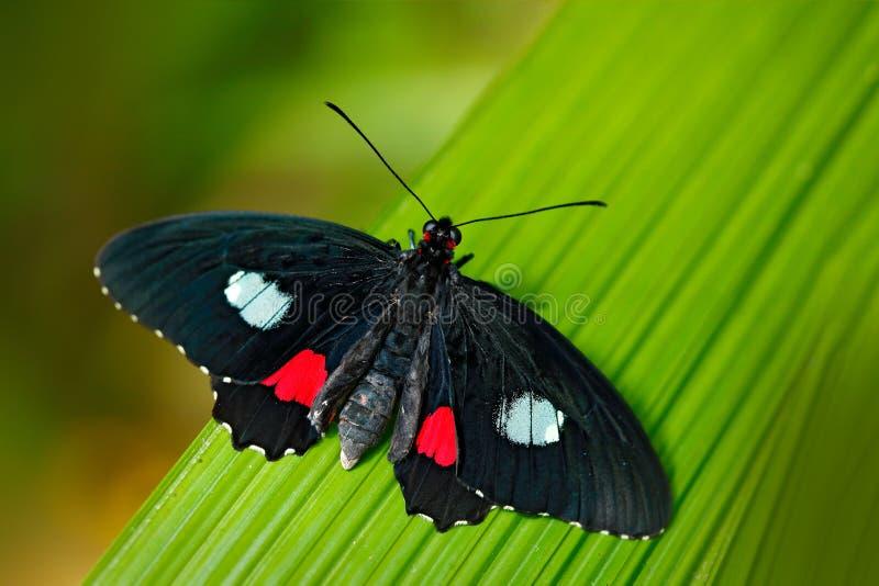 Mariposa en el insecto del bosque verde Niza que se sienta en la licencia Mariposa de Panamá Naturaleza en butterf hermoso del bo foto de archivo