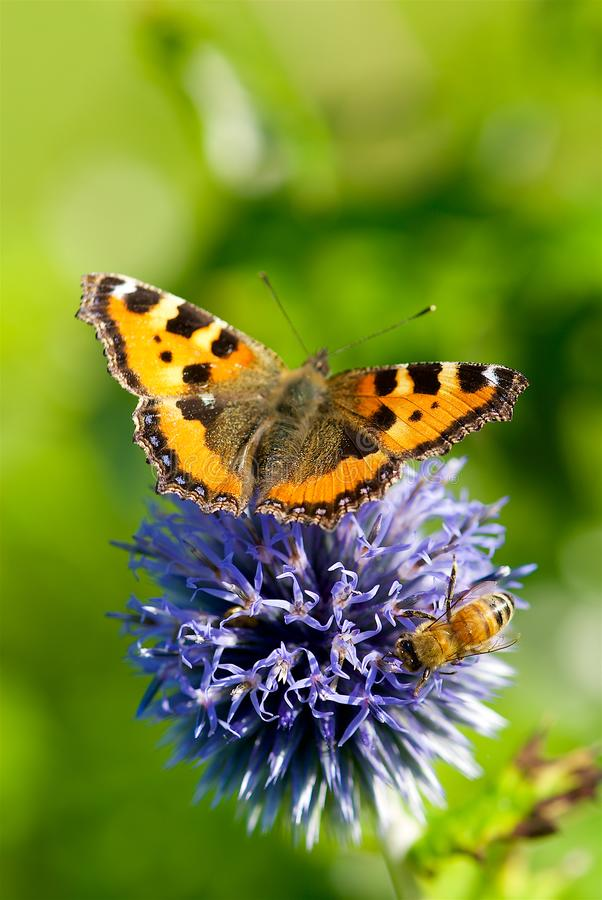Mariposa en flores en la sol en el verano, Suecia fotos de archivo libres de regalías