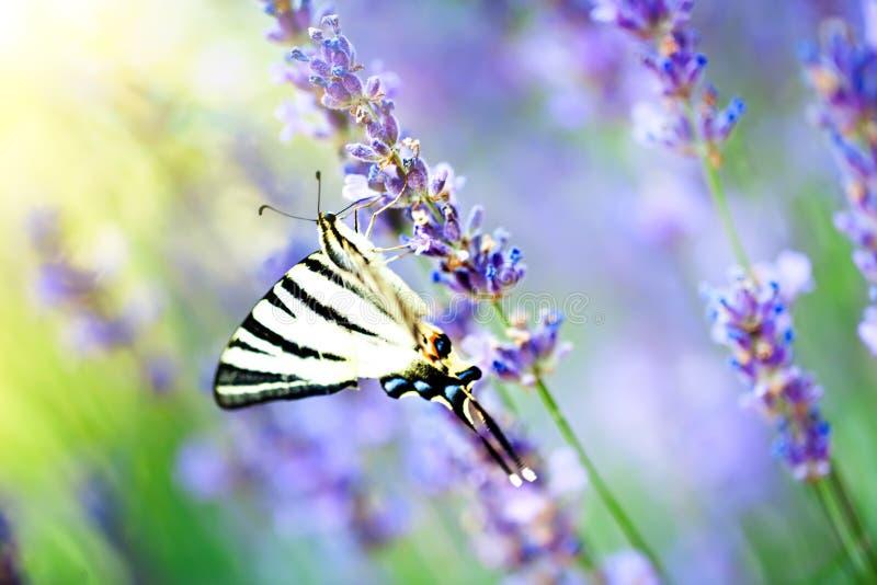 Mariposa en h?bitat de la naturaleza Insecto agradable Mariposa en el bosque verde horizontal Foco selectivo foto de archivo libre de regalías